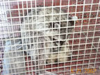 raccoon humanely trapped